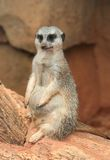 Portrait of a Meerkat. With blurred rock background royalty free stock photo