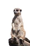 Portrait of a meerkat Stock Image