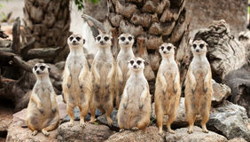 Portrait of meerkat family. On the rock Stock Images