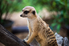 Portrait of meerkat Stock Images