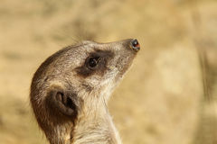 Portrait of a meerkat looking up Stock Image