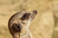 Portrait of a meerkat looking up Stock Image