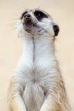 Portrait of a meerkat Stock Photos