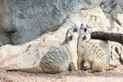 Portrait  of meerkat. On the rock with nature frame Royalty Free Stock Photography
