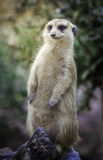 Portrait of meerkat. Sit on wood stand with green nature background Stock Image
