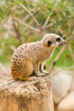 Portrait of a Meerkat sitting on a tree trunk. Stock Image