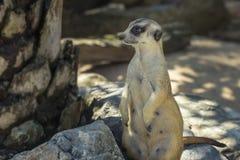 Portrait of Meerkat Suricata suricatta, African native animal stock images