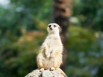 Portrait of Meerkat Suricata suricatta, African native animal, small carnivore belonging to the mongoose family royalty free stock photo