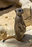 Portrait of Meerkat Suricata suricatta standing in typical position. Small carnivore belonging to the mongoose family Royalty Free Stock Photos