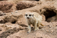 Portrait meerkat, suricate outdoor standing Royalty Free Stock Image