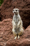 Portrait meerkat, suricate outdoor standing Royalty Free Stock Photos