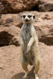 Portrait meerkat, suricate outdoor standing Stock Photography
