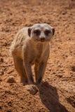 Portrait of meerkat. It the zoo stock photography