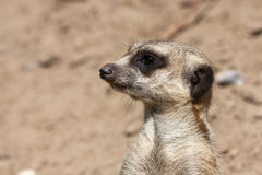 Portrait of a meerkat Stock Photos