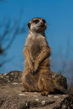 Portrait of a Meerkat Royalty Free Stock Photo