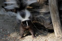 Portrait of mephitidae is a family of mammals comprising the skunks and stink badgers. Photography of nature and wildlife royalty free stock image