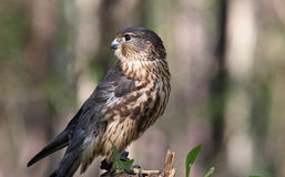 Portrait of Merlin Bird of Prey Stock Image