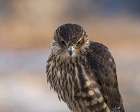 Portrait of a Merlin. Merlin Falcon close up with a blurred background in warm evening light Royalty Free Stock Photos