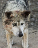 A Portrait of a Mexican Gray Wolf Stock Photo
