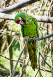 Portrait of a Mexican military macaw (Ara militaris mexicana) Royalty Free Stock Photography