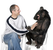 Portrait of mid adult man tickling chimpanzee. Against white background, studio shot. Mixed-Breed between Chimpanzee and Bonobo (20 years old Stock Photos
