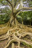 Portrait of a mighty Moreton Bay fig with its giant roots at the foreground. stock images