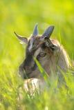 Portrait mignon de chèvre photographie stock