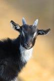Portrait mignon de chèvre photos stock