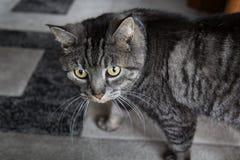 Portrait mignon de chat tabulé par gris Photographie stock