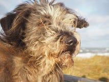 Portrait mignon de chien avec le vol de cheveux dans le vent Image libre de droits