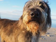 Portrait mignon de chien regardant directement dans l'appareil-photo Photos libres de droits