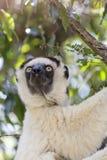 Portrait mignon de Sifaka dans une scène de faune au Madagascar, Afrique image libre de droits
