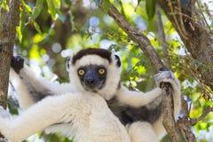 Portrait mignon de Sifaka dans une scène de faune au Madagascar, Afrique photo libre de droits