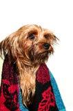 Portrait mignon de terrier de Yorkshire Photographie stock libre de droits