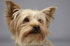 Portrait mignon de terrier de Yorkshire dans le studio gris de photo Photos stock
