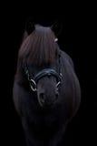 Portrait mignon noir de poney sur le fond noir Images libres de droits