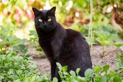 Portrait mignon noir sérieux de chat de Bombay dehors dans l'herbe photos libres de droits