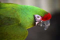 Portrait of military macaw. Side portrait of green military macaw parrot stock images