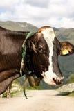 Portrait of a milk cow Stock Image