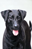 Portrait of Labrador Stock Photos