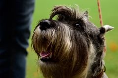 Portrait mini Schnauzer with interesting eyes outdoors. Portrait of a Schnauzer dog with good sad eyes on a leash from the owner stock image