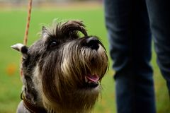 Portrait mini Schnauzer with interesting eyes outdoors. Portrait of a Schnauzer dog with good sad eyes on a leash from the owner royalty free stock photography