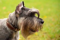 Portrait mini Schnauzer with interesting eyes outdoors. Happy, cute, funny miniature dog schnauzer puppy sitting outdoors. beautiful portrait of miniature stock photography