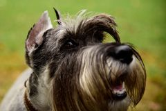 Portrait mini Schnauzer with interesting eyes outdoors. Happy, cute, funny miniature dog schnauzer puppy sitting outdoors. beautiful portrait of miniature stock photos