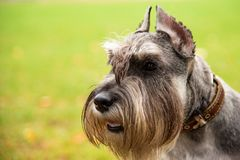 Portrait mini Schnauzer with interesting eyes outdoors. Happy, cute, funny miniature dog schnauzer puppy sitting outdoors. beautiful portrait of miniature royalty free stock photography
