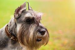 Portrait mini Schnauzer with interesting eyes outdoors royalty free stock photo