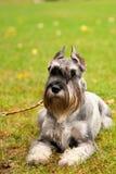 Portrait mini Schnauzer with interesting eyes outdoors. Happy, cute, funny miniature dog schnauzer puppy sitting outdoors. beautiful portrait of miniature royalty free stock photos