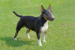 The portrait of Miniature Bull Terrier Royalty Free Stock Image