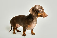 Dachshund against white background royalty free stock photos