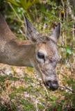 Portrait of miniature key deer Stock Image